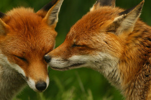 foxes-TL30-1578